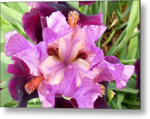 Iris Metal Print featuring the photograph Purple Iris by Virginia Forbes