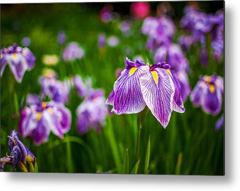Portland Metal Print featuring the photograph Purple Japanese Iris II by Lee Cuellar