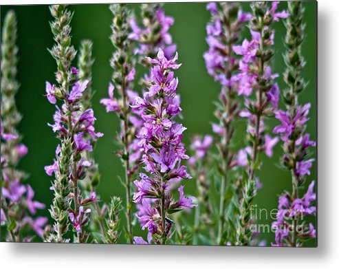Purple Loosestrife Metal Print featuring the photograph Purple Loosestrife by Cheryl Baxter