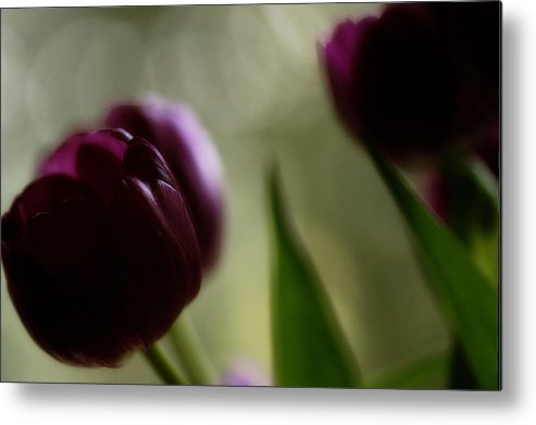 Tullips Metal Print featuring the photograph Purple Tulips Dream by Katy Jane Conlin