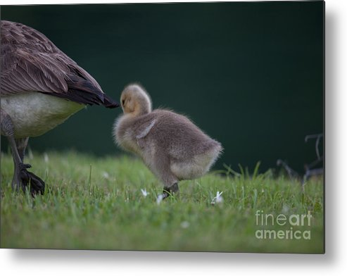 Gosling Metal Print featuring the photograph Quite Time by Dale Powell
