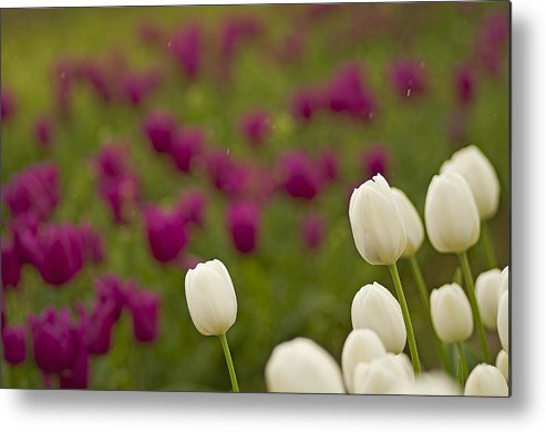Pacific Metal Print featuring the photograph Rain Drops Keep Falling On My Tulips by Nick Boren