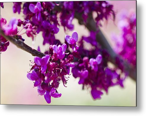 Rose Photographs Metal Print featuring the photograph Red Bud Oklahoma by Vernis Maxwell