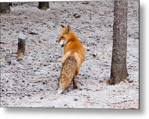 Animal Metal Print featuring the photograph Red Fox Egg Thief by John Wadleigh