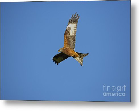 Red Metal Print featuring the photograph Red Kite by Premierlight Images