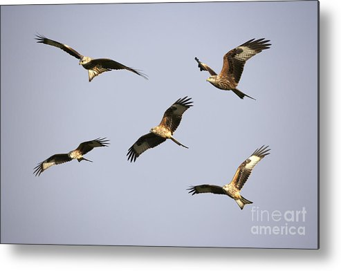 Montage Metal Print featuring the photograph Red Kites Montage by Premierlight Images