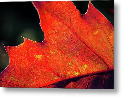 Outdoors Metal Print featuring the photograph Red Leaf Rising by Joe Martin A New Hampshire Portrait Photographer