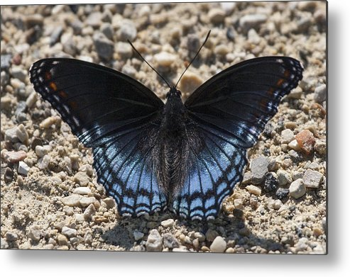 Red Spotted Purple Metal Print featuring the photograph Red Spotted Purple Butterfly by Emma England