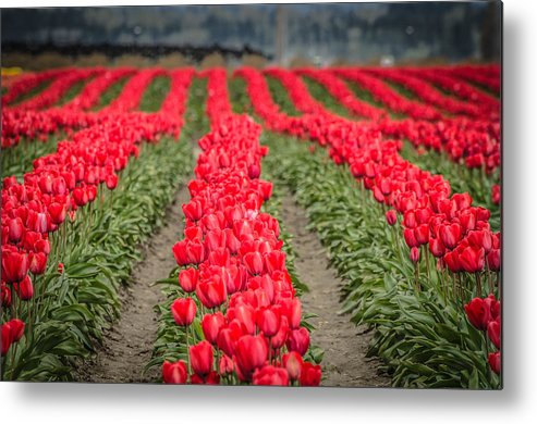 Red Metal Print featuring the photograph Red Tulip Hills by Puget Exposure