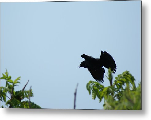 Lahay Creative Metal Print featuring the photograph Red Winged Blackbird In Taking Off by Andrew Lahay