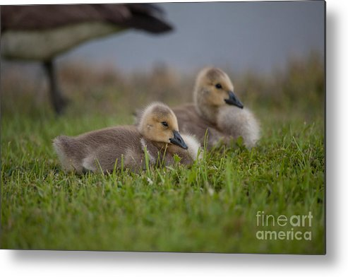Gosling Metal Print featuring the photograph Reflection Time by Dale Powell