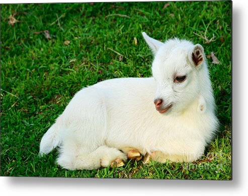 Pygmy Goat Metal Print featuring the photograph Relaxing Kid by Thomas R Fletcher