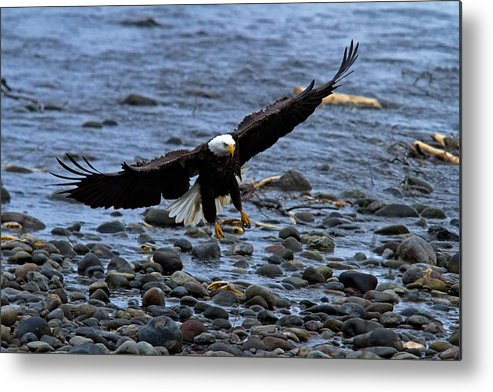 Bald Eagle Metal Print featuring the photograph Rocky Landing by Shari Sommerfeld