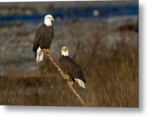 Bald Eagle Metal Print featuring the photograph Room For Two by Shari Sommerfeld