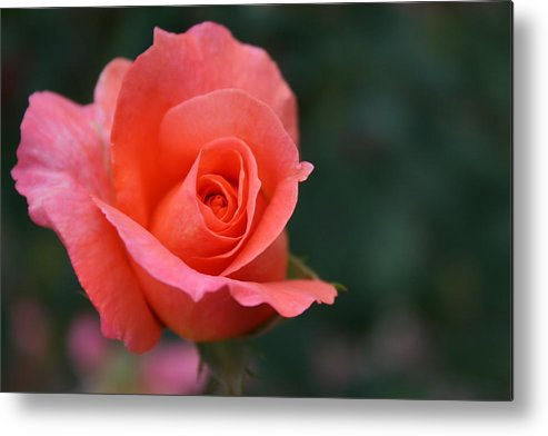 Rose Metal Print featuring the photograph Rose 3 by Joanna Raber