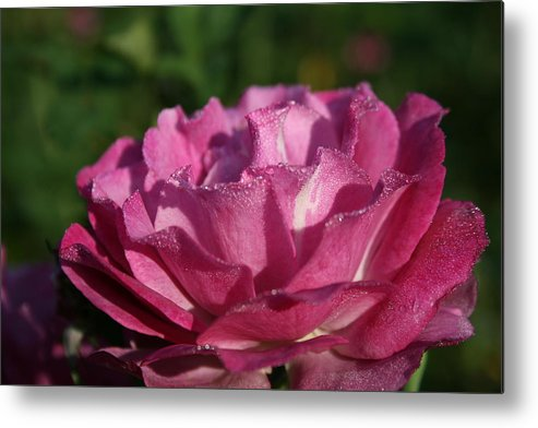 Rose Metal Print featuring the photograph Rose 4 by Joanna Raber