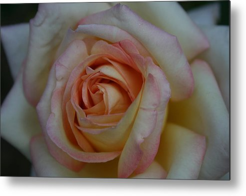 Rose Metal Print featuring the photograph Rose 5 by Joanna Raber