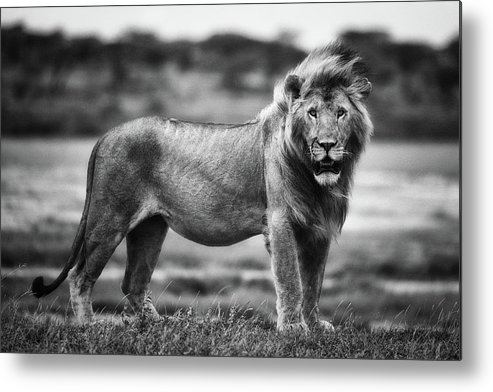 Lion Metal Print featuring the photograph Royal Pose by Mohammed Alnaser