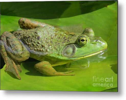 Bull Frog Metal Print featuring the photograph Rrrrrrrrrrrr - Ib - It by Frank Townsley