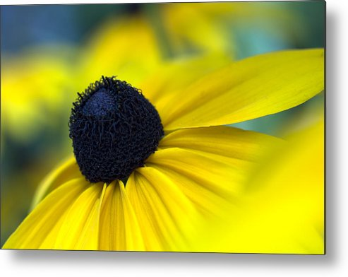 Rudbeckia Metal Print featuring the photograph Rudbeckia Coneflower by Marina Kojukhova