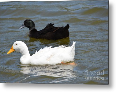Ducks Metal Print featuring the photograph Salt And Pepper by Ruth Housley