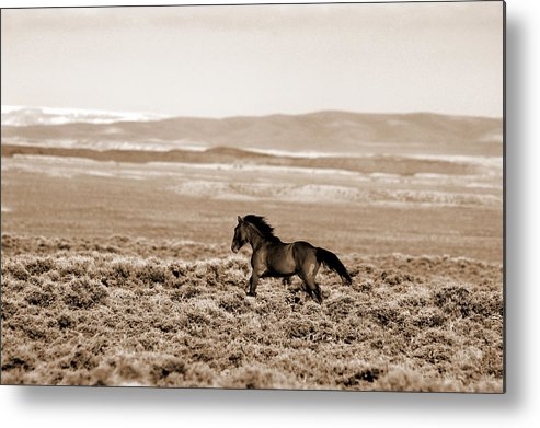 A Blm Mustang Runs In The Sand Wash Basin Near Baggs Metal Print featuring the photograph Sand Wash Mustang by Lourie Zipf