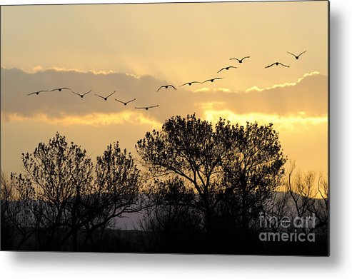 Grus Canadensis Metal Print featuring the photograph Sandhill Cranes Flying At Sunset by John Shaw