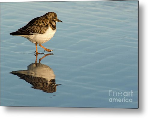 Sandpiper Metal Print featuring the photograph Sandpiper Bird Walking On Water by Rossi I