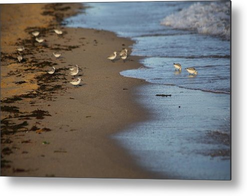 Sandpipers Metal Print featuring the photograph Sandpipers 2 by Allan Morrison