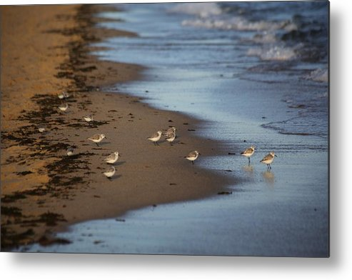 Sandpipers Metal Print featuring the photograph Sandpipers 3 by Allan Morrison