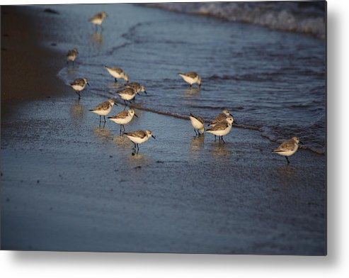Sandpipers Metal Print featuring the photograph Sandpipers 6 by Allan Morrison