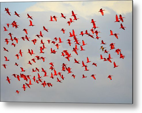 Scarlet Ibis Metal Print featuring the photograph Scarlet Sky by Tony Beck