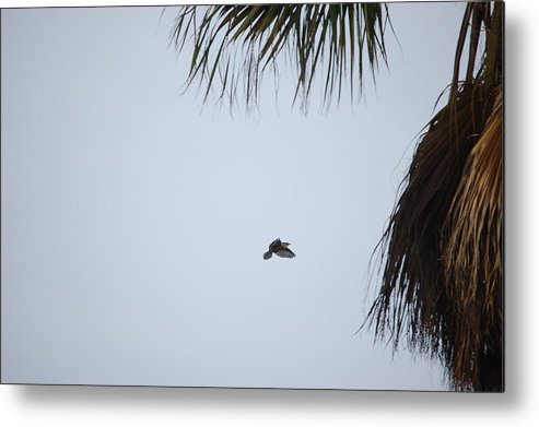 Linda Brody Metal Print featuring the photograph Scrub Jay In-flight by Linda Brody