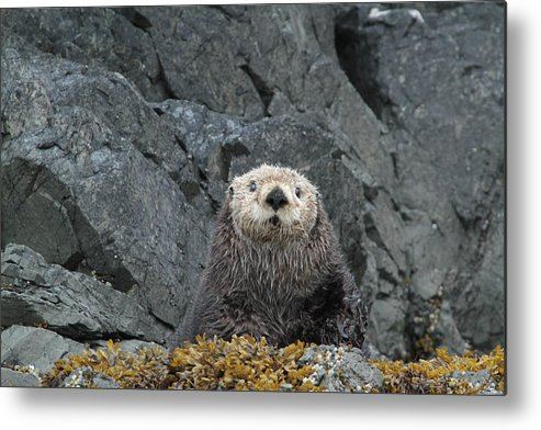 Sea Otter Hauled Out Alaska Mammals Metal Print featuring the photograph Seaotter - The Old Man by Rick and Dorla Harness