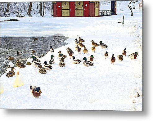 Duck Metal Print featuring the photograph Seriously? Go Into The Water? by Luther Fine Art