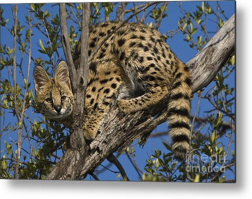 African Fauna Metal Print featuring the photograph Serval by John Shaw