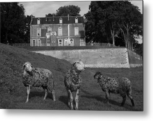 Sheep Metal Print featuring the photograph Sheep In French Landscape by Aidan Moran