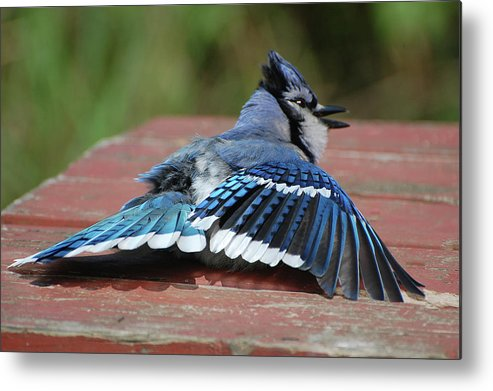 Blue Jay Metal Print featuring the photograph Show-off by Colleen English