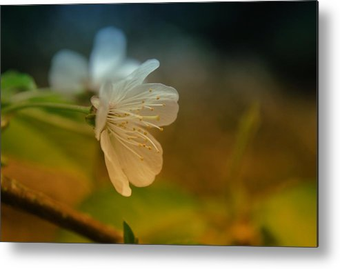 Flowers Metal Print featuring the photograph Side View Of An Apple Blossom by Jeff Swan