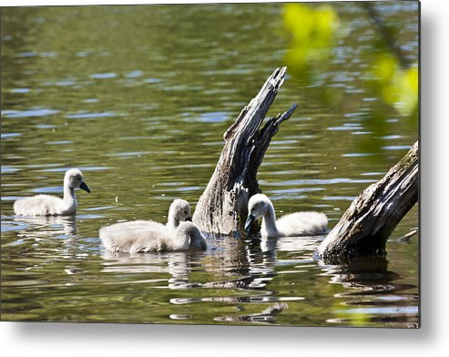 Swans Metal Print featuring the photograph Signets by Dennis Coates