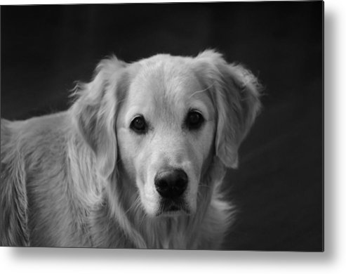 Dog Metal Print featuring the photograph Silent Pup by Reed McInerny