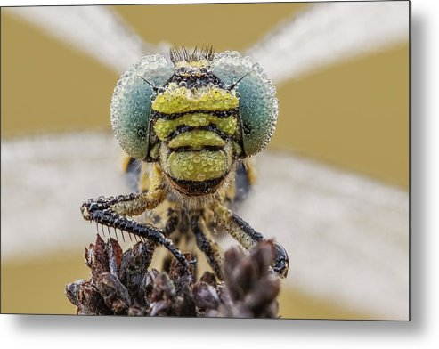 Anisoptera Metal Print featuring the photograph Small Pincertail by Heath Mcdonald