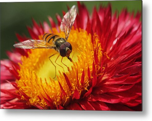 Macro Metal Print featuring the photograph Snack Time by Frank Koenig