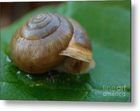 Snail Metal Print featuring the photograph Snail On Leaf by Sharon Gartrell