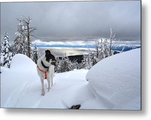 Tahoe Metal Print featuring the photograph Snow Dog by Jeremy Fleming