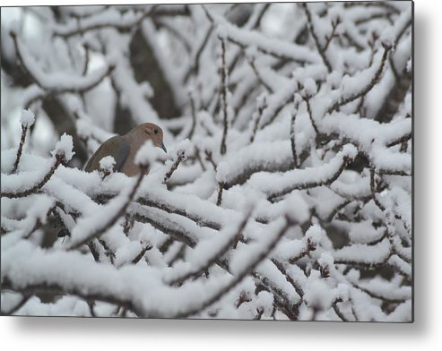 Dove Metal Print featuring the photograph Snow Dove by Paula Card