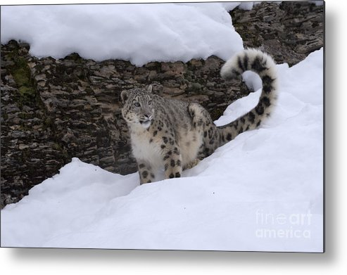 Snow Leopard Metal Print featuring the photograph Snow Leopard by Sandra Bronstein