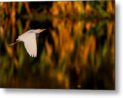 White Metal Print featuring the photograph Snowy Egret Climbing Up To The Sky by Andres Leon