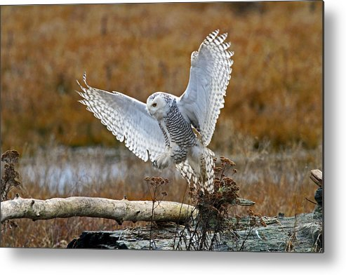 Snowy Owl Metal Print featuring the photograph Snowy Owl Landing by Shari Sommerfeld