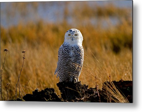 Snowy Owl Metal Print featuring the photograph Snowy Owl Portrait by Shari Sommerfeld